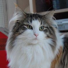 #8 GIC DK Toonscat's Yogi Cat. Ejer: Pia Børgesen & Henrik Buusman. Points 590
