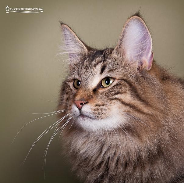 #1 Toonscat's Marabou. Ejer: Ellen & Patrik Rotman. Points 610