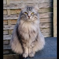 DK Chrisycats Nala